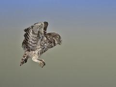 Juvenile Little Owl in flight. (roy rimmer) Tags: littleowl starlings