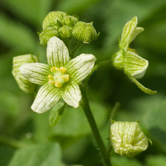 White bryony (beaconschris5050) Tags: