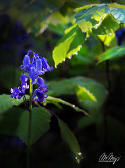 Secrets of the Forest Floor II (Monika Müthing) Tags: nature flowers florals blossoms bluebells beech blue green forest