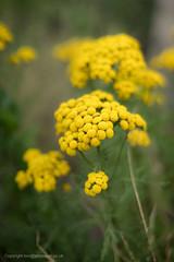 Fleurs jaunne-04400 (toniertl) Tags: toniphotoxoncouk bokeh townplants walkingthroughkidlington decoration dullday lenstest yellow glow bobbles flowerheads cluster sal50f14