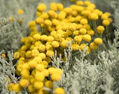 Fleurs jaunne-03998 (toniertl) Tags: sonyfe50f18 toniphotoxoncouk townplants walkingthroughkidlington decoration dullday lenstest yellow glow bobbles flowerheads cluster