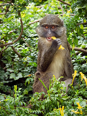 Yummy Flowers (helenehoffman) Tags: africa wildlife primate nature sandiegozoo congobasin allenopithecusnigroviridis conservationstatusleastconcern monkey allensswampmonkey animal