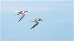 (c)WMH_2019_08_04 Common Terns in Formation (WesleyHowie) Tags: birds canada commontern location mccormacksbeachprovincialpark novascotia provincialpark tern wildlife