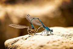 Male (blue) and female common Blue Damselflies.  The mating pIr make a heart shape (turn on its side to see it in this image) (Kevin_Barrett_) Tags: dragonfly damselfly macro insect nature wings