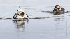 Long-tailed Ducks, pair (karenmelody) Tags: usa bird birds animal animals alaska duck ducks vertebrate vertebrates anatidae anseriformes longtailedduck clangulahyemalis unitedstatesofamerica nearbarrow utqiaġvik