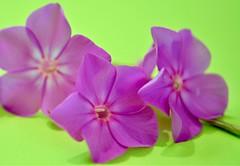 Phlox Petals (helensaarinen) Tags: complementarycolours macromondays phlox pink floral limegreen