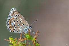 Argus brun (Richard Holding) Tags: argusbrun ariciaagestis aspas butterfly collierducorail m43 macro myolympus oeilsauvage olympus omd papillon ranquas richardholding rvs