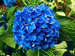 A World of Beautiful Blue (77ahavah77) Tags: flower blossom bloom blue plant nature maine