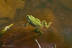 Frog (markbangert) Tags: frog amphibian reptile water