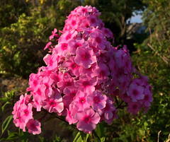 A Gathering of Pink (77ahavah77) Tags: pink blooms blossoms flowers maine nature