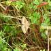 Shaded Broad Bar Moth DSCN3034
