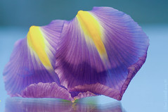 It's just the two of us ;o) (Elisafox22) Tags: elisafox22 sony ilca77m2 100mmf28 macro macrolens telemacro lens macromondays hmm complementarycolours iris petals purple yellow texture pattern textures smooth indoors elisaliddell©2019
