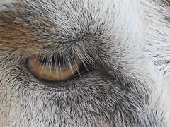 Eye of the Pony (Anton Shomali - Thank you for over 2 million views) Tags: park eye animal farm perryfarm hair gray white grayandwhite nikon p900 coolpix eyeofthepony pony babypony nature beautiful beauty photography photo illinois bradley naturephotography bourbonnais animalsphotography