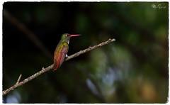 Amazilia Lojana, Amazilia alticola, Loja Hummingbird. Jipiro, Loja, Ecuador (manuelespinosa10) Tags: amazilia alticola loja hummingbird