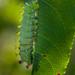 Cecropia  Moth Larva