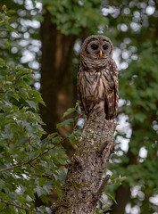 Juvenile Barred Owl (stephenwalshphoto) Tags: