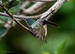 Amazilia franciae (Andean Emerald / Amazilla Andina) (Andrés Ceballos V.) Tags: amaziliafranciae andeanemerald birding birds esmeraldaandina fusasuga hummingbird wildlife colibri