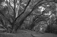 welcoming path (peaceblaster9) Tags: tree forest woods path trail park hike california 木 樹木 森 森林 道 公園 ハイキング カリフォルニア blackandwhite bnw bw blackwhite monochrome モノクローム モノクロ 白黒