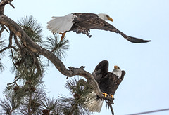 IMG_9903 We Were Just Leaving (edhendricks27) Tags: eagle nature wildlife canon