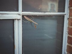 Urban mantis (Vincent F Tsai) Tags: nature window urban glass insect praying mantis reflection city building wildlife panasonic lumixg20mmf17 lumixgx8