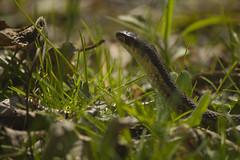 Garter Snake April-25-1 (njumer) Tags: animal animals wild wildlife reptile reptiles reptilian snake snakes vertebrate vertebrates lake st clair metro park parks nature garter