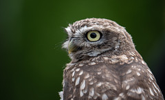 Little Owl (susie2778) Tags: littleowl britishwildlifecentre captive dcg9 panasonic g9 panasonic200mmf28leicadgelmaritpoweroislens hese love these lo
