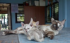 mottled mother with kittens (the foreign photographer - ฝรั่งถ่) Tags: cat mother mottled kitten khlong thanon bangkhen bangkok thailand sony rx100