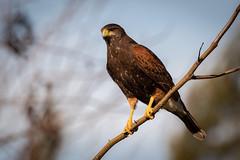 Gavilán Mixto (J Chiavo) Tags: argentina aves birdphotography birdwatching buenosaires canon7dii gavilánmixto marcospaz nature parabuteounicinctus sigma150600
