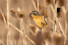 Cachilo Canela (J Chiavo) Tags: argentina aves birdphotography birdwatching buenosaires cachilocanela canon7dii donacospizaalbifrons marcospaz nature sigma150600