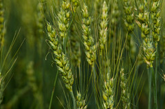AC Muchmore (Bracus Triticum) Tags: acmuchmore flora wheat 7月 七月 文月 shichigatsu fumizuki bookmonth summer july 2018 lacombe ラクーム アルバータ州 alberta canada カナダ