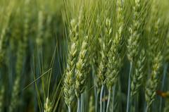 AAC Penhold (Bracus Triticum) Tags: aacpenhold flora wheat 7月 七月 文月 shichigatsu fumizuki bookmonth summer july 2018 lacombe ラクーム アルバータ州 alberta canada カナダ