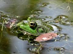 Sunday's frog (EcoSnake) Tags: americanbullfrog lithobatescatesbeiana frogs amphibians security water wildlife summer august idahofishandgame naturecenter