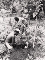 Coconut replanting, South Santo, Vanuatu