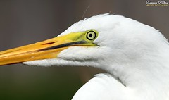 A bird's eye shot (Shannon Rose O'Shea) Tags: shannonroseoshea shannonosheawildlifephotography shannonoshea shannon greategret egret bird beak white profile closeup close nature wildlife waterfowl ardeaalba alligatorbreedingmarshandwadingbirdrookery gatorland orlando florida lores eye flickr wwwflickrcomphotosshannonroseoshea smugmug art photo photography photograph wild wildlifephotography wildlifephotographer wildlifephotograph femalephotographer girlphotographer womanphotographer shootlikeagirl shootwithacamera throughherlens camera colorful colourful colors colours canon canoneos80d canon80d canon100400mm14556lisiiusm eos80d eos 80d 80dbird canon80d100400mmusmii 3879 2019 canongirl macro
