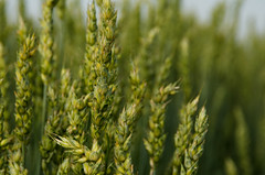 CDC Stanley (Bracus Triticum) Tags: cdcstanley flora wheat 7月 七月 文月 shichigatsu fumizuki bookmonth summer july 2018 lacombe ラクーム アルバータ州 alberta canada カナダ