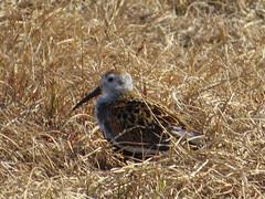 Dunlin (Sunsades) Tags: dunlin barrow alaska tundra sx50 canon birdingtrip