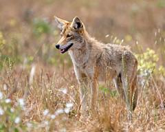 Coyote 151 (lennycarl08) Tags: pointreyesnationalseashore pointreyes animalplanet coyote wildlife