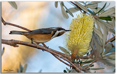 Eastern spinebill (Bear Dale) Tags: eastern spinebill feeding banksia tree flower scientific name acanthorhynchus tenuirostris ulladulla southcoast new south wales shoalhaven australia beardale lakeconjola fotoworx milton nsw nikond850 photography framed nature nikon d850 nikkor afs 200500mm f56e ed vr bird beak branch naturephotography naturaleza