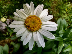 worlds within worlds (77ahavah77) Tags: flower maine bloom blossom white yellow nature garden