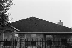 Ducks on the roof (bighadur) Tags: bw nikonfm2 film kodak100tmax