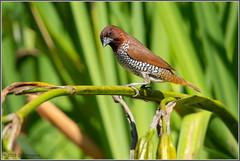Scaly-breasted Munia 4263 (maguire33@verizon.net) Tags: losangelescountyarboretum nutmegmannikin scalybreastedmunia spicefinch bird nonnative wildlife arcadia california unitedstatesofamerica