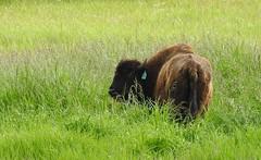 Farmed Bison (pamfromcalgary) Tags: animal animals bison southernalberta pamhawkes