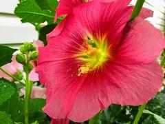 HMM MacroMondays (Mr. Happy Face - Peace :)) Tags: macromondays floral red closeup macro theme gardening summer art2019 nature canada albertabound