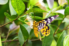 豹尺蛾, False Tiger Moth, Dysphania militaris Linnaeus, (Jeffreycfy) Tags: animals nature wildlife insects macro closeup 微距 近攝 昆蟲 鱗翅目 lepidoptera 飛蛾 moths 尺蛾科 geometridae geometermoths 豹尺蛾 falsetigermoth dysphaniamilitarislinnaeus nikon d500 nikkor300mmf4pf tc14eiii