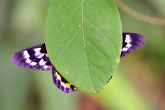 豹尺蛾, False Tiger Moth, Dysphania militaris Linnaeus, (Jeffreycfy) Tags: animals nature wildlife insects macro closeup 微距 近攝 昆蟲 鱗翅目 lepidoptera 飛蛾 moths 尺蛾科 geometridae geometermoths 豹尺蛾 falsetigermoth dysphaniamilitarislinnaeus nikon d4s micronikkor105mmf28g tc14eiii