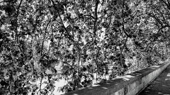 Beautiful cover (romeos115) Tags: leaves canopy street branches bw blackandwhite light shadows italy rome sunlight walk sidewalk tree maple