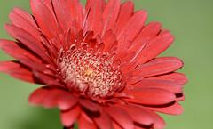MACRO MONDAYS | Complementary colours (Jehanmi) Tags: macrofleur macroflowers nikkor nikon photography flowers fleurs rouge vert coyleurs nature macromondays macro colours complementarycolours hmm