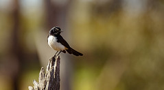 Willie Wagtail (AWLancaster) Tags: williewagtail birds birding wetlands shepparton photowalk winter pollen pollencovered wagtail fantail beauty sony a77ii tamron