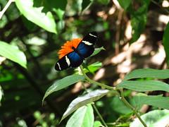 Sara Longwing (Jenn Sinasac) Tags: saralongwing saraheliconian heliconiussara heliconius butterfly nymphalidae lepidoptera pipelineroad soberanianationalpark panama