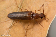 Click Beetle (Octinodes sp.) (aliceinwl1) Tags: anza aplastini arthropod arthropoda ca california cebrioninae clickbeetle coleoptera elateridae elateroidea insect insecta octinodes polyphaga riversidecounty serieselateriformia beetle locnoone viseveryone